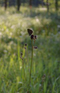 Azuré des paluds, espèce protégée en voie d'extinction (Prairies humides de la Vezouze)